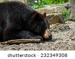Eastern American Black Bear (Ursus americanus americanus) sleeping among rocks. Portrait. Quebec, Canada, North America. - stock photo