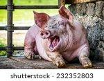 Piglet At A Farm   Closeup