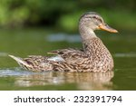 Portrait Of A Duck With...