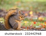 Fox Squirrel Eating Nuts In...