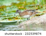American Wigeon (Anas americana) standing on a rock. Montreal, Quebec, Canada, North America. - stock photo