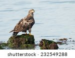 Bald Eagle (Haliaeetus leucocephalus washingtoniensis) perched on a rock in the water. Vancouver Island, British Columbia, Canada, North America. - stock photo