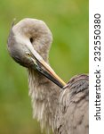 Great Blue Heron (Ardea herodias) adult grooming feathers. Montreal, Quebec, Canada, North America. - stock photo