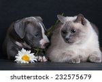 Stock photo puppy dog playing with a cat on a black background in the studio 232575679
