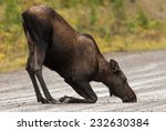 Kneeling cow Western Moose (Alces alces andersoni) drinking water from the rain in the middle of the road. Alberta, Canada, North America. - stock photo