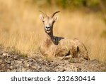 Female Rocky Mountain Bighorn Sheep (Ovis canadensis canadensis) lying and chewing cud. Alberta, Canada, North America. - stock photo