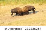 Two American Bison (Bison bison) fighting. Alberta, Canada, North America - stock photo
