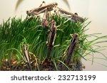 Desert Locust  Schistocerca...