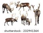 Set Of Few Reindeer  Rangifer...
