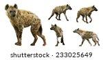 Set Of Spotted Hyenas  Crocuta...