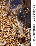 wheat berries over a sieve | Shutterstock . vector #233145436