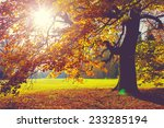 beech tree in foliage at fall | Shutterstock . vector #233285194