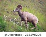 Bighorn sheep on a hillside in Alberta, Canada - stock photo