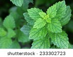 fresh lemon balm in the garden | Shutterstock . vector #233302723