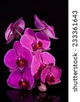 pink orchid isolated on black | Shutterstock . vector #233361643