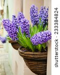 Hyacinths In Pots On The Street