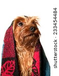 Yorkshire terrier portrait with towel - stock photo
