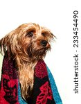 Cute yorkshire terrier portrait, wet after bath covered with towel - stock photo