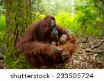 Orangutan In The Jungle Of...