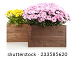 Chrysanthemum Bush In Wooden...