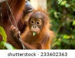 Wild Baby And Mother Orangutan...