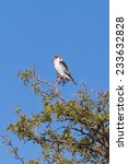 Small photo of An African Pygmy Falcon (Polihierax semitorquatus) perched on an Acacia tree against a clear blue sky, South Africa