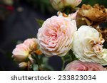 Small photo of Pink rose Pastella. Wilt rose symbol of passing time.