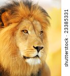 A male African lion. - stock photo