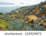 agave tequila landscape to... | Shutterstock . vector #233929873