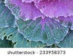 Ornamental Decorative Cabbage...