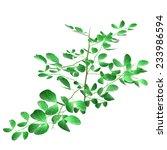 bifoliate plant | Shutterstock . vector #233986594
