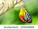 Stock photo beautiful butterfly emerges from a cocoon 234030868
