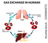 gas exchange in humans. path of ... | Shutterstock .eps vector #234084073