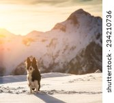 Stock photo border collie in the snow 234210736