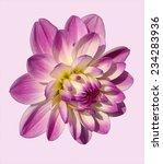 pink dahlia on pink background | Shutterstock . vector #234283936