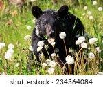 Black Bear Eating Dandelions - stock photo