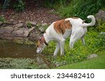 Greyhound Drinking From A Pond