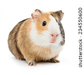brown guinea pig on white... | Shutterstock . vector #234550600