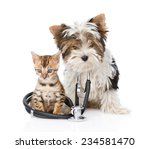 Stock photo small bengal cat and biewer yorkshire terrier puppy with stethoscope on his neck isolated on white 234581470