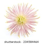 flower isolated on white...   Shutterstock . vector #234584464