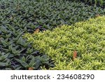 Small photo of Greenhouse detail in spring: Rows of potted dark green impatiens (unidentified species) alongside rows of the brighter Joseph's coat (binomial name: Alternanthera ficoidea 'Gold Threads')