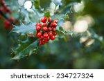 Holly Tree