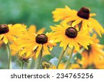 A Yellow Rudbeckia Flower In...