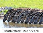 zebras at the waterhole | Shutterstock . vector #234779578
