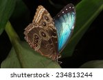 Blue Morpho Butterfly Perched...