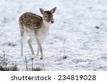 Young Fallow Deer In Winter Snow