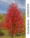 A Red Maple Tree In Fall Color...