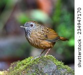 Small photo of Babbler bird, Streaked Wren Babbler (Napothera brevicaudata) standing on the rock.Thailand