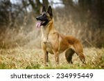 beautiful belgian shepherd...   Shutterstock . vector #234995449
