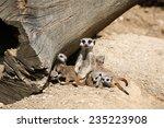 Meerkats  Suricata Suricatta  ...